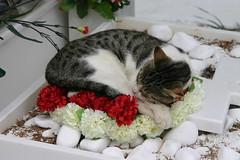 Gato durmiendo sobre una corona