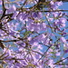 Jacaranda - Photo (c) mauroguanandi, some rights reserved (CC BY)