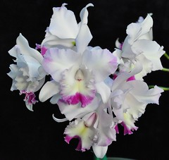 Lc. Angel Heart Cluster