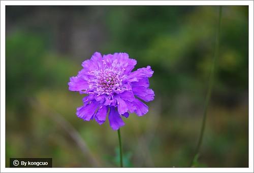 图:川续断科蓝盆花属华北蓝盆花(080921黄草梁)