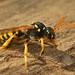 Nomada - Wespbijen - Waspbees