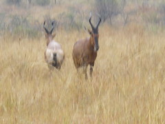 animal, prairie, antelope, plain, mammal, horn, hartebeest, fauna, savanna, grassland, wildlife,