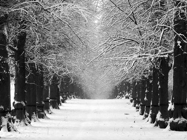 Lime Tree Avenue in Winter (Black and White Version ...
