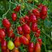 Tomates Perla