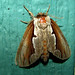 Double-toothed Prominent - Photo (c) kestrel360, some rights reserved (CC BY-NC-ND)