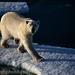 Nanuk: Polar Bear approaching