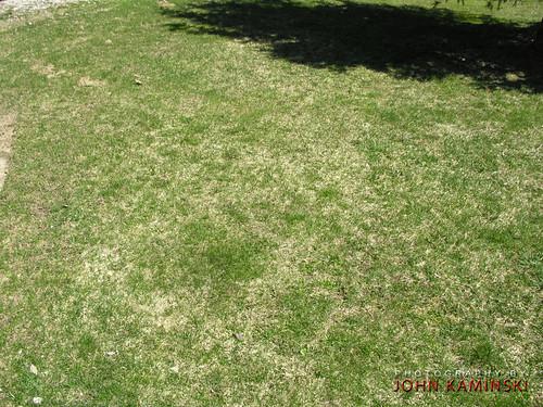 Le malattie del prato identificazione cause e rimedi - Erba nana per giardino ...