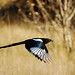 Magpie in Flight - Project 365 Day 285 by Ron Kube Photography
