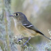 Hutton's Vireo - Photo (c) Jamie Chavez, some rights reserved (CC BY-NC)