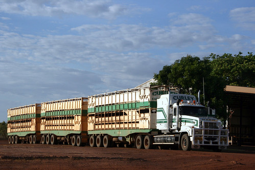 Curley cattle transport Mike Prime Minister MRT 02-CCT + 3 cattle in the yard, Queensland, Australia, Burke Development Road, Normanton handling trailers.