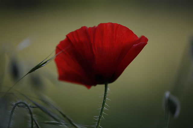 the scarlet flowers of passion seem to grow in the same meadow as the poppies of oblivion