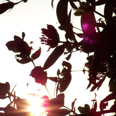 sunset flower silhouettes