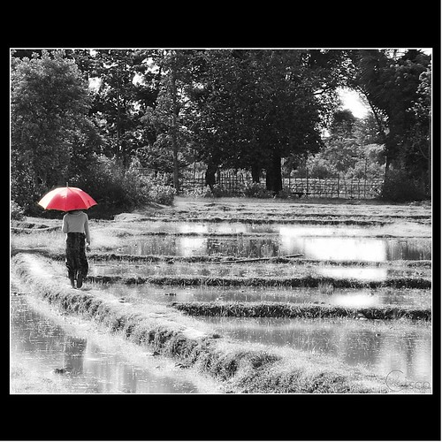 "rice cisco laos rosso riso ombrello donkhong siphandon photographia thesuperbmasterpiece artofimages ""photographia"" bestcapturesaoi"