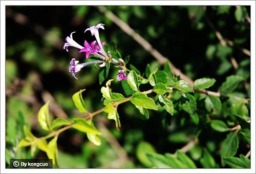 北京阳台山的常见野花-茜草科野丁香属野丁香=薄皮木1