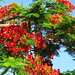 Small photo of Delonix regia (Flamboyant Tree)