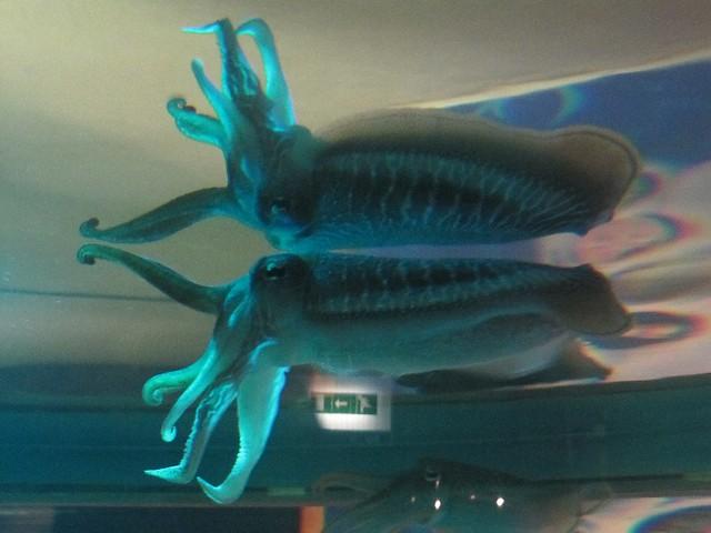 Exploris : Exploris Aquarium, Portaferry Cuttlefish and its reflectio ...