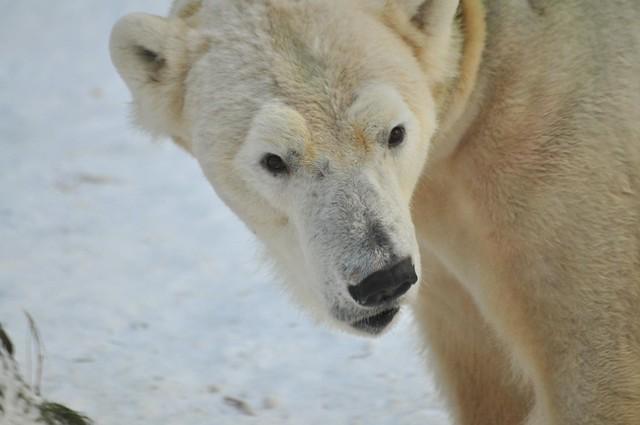 Eisbär Viktor