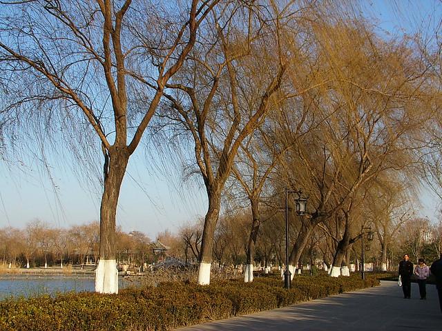 明湖沿湖的高大柳树