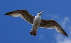 Gull at Brighton