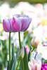Pink Darwin Tulips_MG_0089_2789-v by 918monty