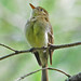 Cordilleran Flycatcher - Photo (c) Jerry Oldenettel, some rights reserved (CC BY-NC-SA)