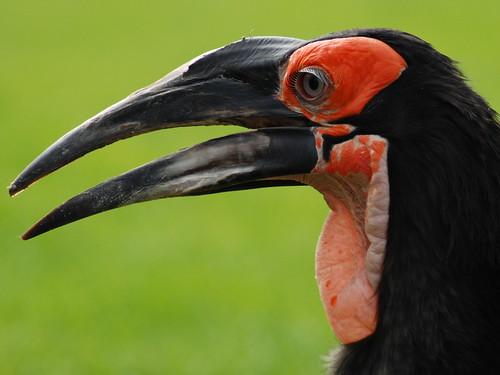 Southern Ground Hornbill.-Bucorvus Leadbeatri.