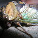 Small photo of Cicada