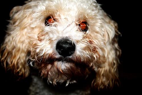 portrait dog cute geotagged fuzzy sweet poodle toypoodle bigdog dogportrait geo:lat=3660844 geo:lon=83732117
