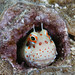 Blenny in his Home