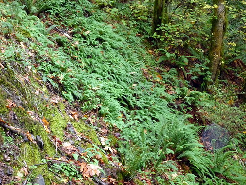 Bridal Veil Creek Ferns Image by gharness