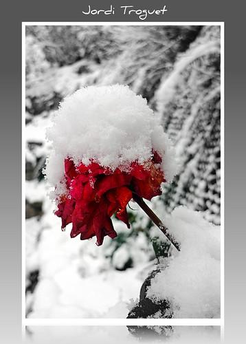 leica red white snow flores macro blanco rojo nieve flor rosa vermell jordi blanc soe andorra neu encamp encarnado jtr kartpostal mywinners concordians theperfectphotographer goldstaraward troguet jorditroguet leicadlux4