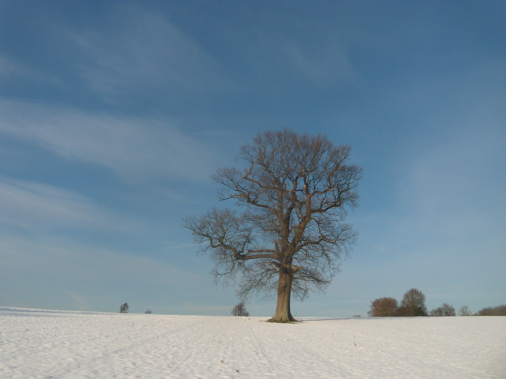Tree in the snow Hever to Leigh