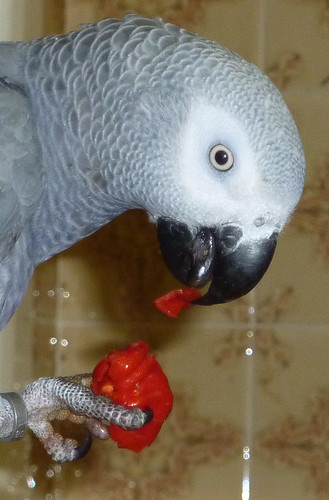 MOJO EATING SCOTCH BONNET PEPPERS!