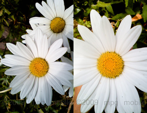 wow backyard daisies