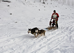 dog, winter, vehicle, snow, pet, mushing, dog sled, land vehicle, sled dog racing, sled dog, sled,