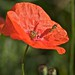 Small photo of Coquelicots abeille