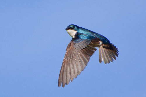 Tree Swallow in Flight #2