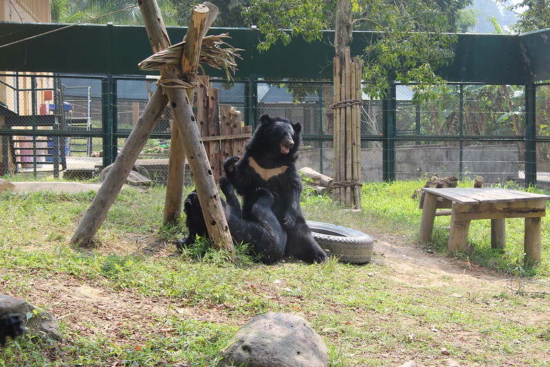 Hercules and Kujira, two of 33 rescued bears in Quang Ninh, enjoy wrestling with each other at VBRC