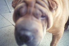 dog breed, nose, animal, dog, pet, shar pei, carnivoran,