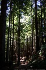 walking in the humboldt redwoods    MG 1133