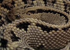eastern diamondback rattlesnake(0.0), hognose snake(0.0), garter snake(0.0), rattlesnake(0.0), sidewinder(0.0), kingsnake(0.0), animal(1.0), serpent(1.0), snake(1.0), boa constrictor(1.0), reptile(1.0), viper(1.0), close-up(1.0), scaled reptile(1.0),