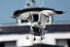 sea gull toronto