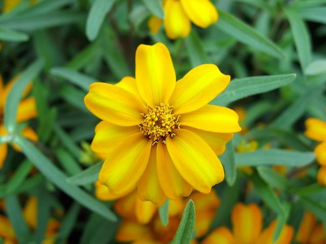 Mexican Mint Marigold 甜萬壽菊   Flickr - Photo Sharing!