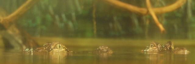 Header of Alligator Eyes