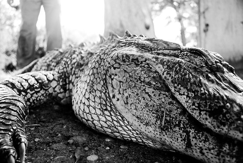 blackandwhite bw slr closeup digital nikon texas dof bokeh gator reptile alligator september swamp marsh swanlake refugio guadalupe 2009 d60 uncolored bokehish top20texas pfrench99 petob swanlakeranch dsc0865b
