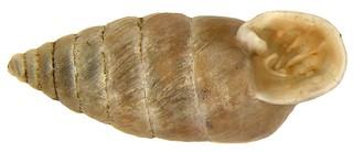 Granaria illyrica (Rossmässler, 1835)