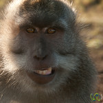 Monkey Tries to Smile - Mt. Batur, Bali