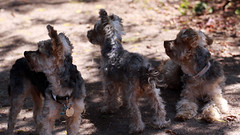 animal, dog, schnoodle, pet, mammal, schnauzer, welsh terrier, miniature schnauzer, terrier,