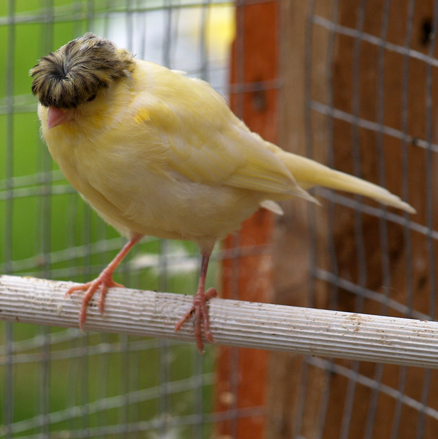 Gloster Canaries For Sale Canary Breeding,gloster