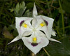 white mariposa lily - Photo (c) James Perdue, some rights reserved (CC BY-NC-SA)